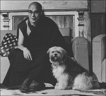 shih-tzu-tibet